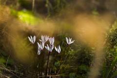 Well Positioned (veredgf) Tags: cyclamen white bokeh yellow flower framed hashofetstream נחלהשופט