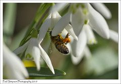 Snowdrops and Bee (Paul Simpson Photography) Tags: snowdrops flowers insect bee nature naturephotography sonya77 february2019 imageof imagesof photoof photosof whiteflowers petals sonyphotography macrophotography naturephotos pollen photosofbees plant flower macro paulsimpsonphotography