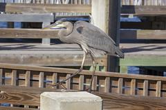 Great Blue Heron (DFChurch) Tags: great blue heron fort pickens gulf islands national seashore park water bird nature wild wildlife pensacola beach florida