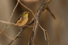 _D509082 (crispiks) Tags: wonga wetlands albury new south wales nikon d500 70200 f28 birdlife