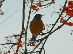 American Robin (starmist1) Tags: americanrobin robin mountainash orangeberries berries branch limb twig perch winter february snow cold backyard cloudy
