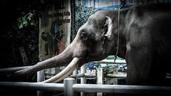 Distress (Cédric Nitseg) Tags: slavery nikon asia abuse greelow slave voyage backpacking elephant backpacker eye travel oeil travelling asie thaïlande kohsamui d7000 animal éléphant thailand