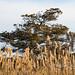 Salt Trimmed Cedar