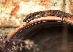 Looking (daveanderson14) Tags: nature wildlife reptiles lizard anole