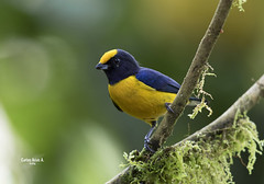 EUPHONIA XANTOGASTER (Carlos Alberto Arias A.) Tags: euphonia xantogaster orange bellied eufonia comun bird nature naturaleza outside air fresh birdphotography naturephotography canon7d markii ef600mm f4l is ii usm el salado valle del colombia cauca