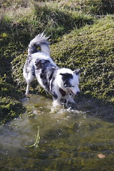 Going for the splash! (Sundornvic) Tags: puppy puddles water pool play sunshine collie welsh triblue merle