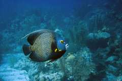 Stately Angelfish (Jeff Mitton) Tags: angelfish frenchangelfish marine reef coralreef caribbean caribbeansea tropical belize turneffeislands scuba underwater marinefish earthnaturelife wondersofnature wildlife fish