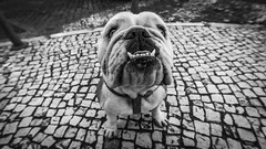 I just wanna be loved by you (Hendrik Lohmann) Tags: dogs dog streetphotography street monochrome lisboa lisbon love nikon nikondf urban blackandwhite bnw bw wideangle