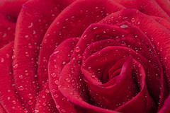 Red Rose with water droplet (Sohag.Mahbub) Tags: macro flower colorful droplet rose valentineday