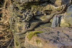 Adder Viper berus - 2b (Matchman Devon) Tags: adder viper berus ringmore south hams devon