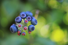 my kind of berry splash (°andre²a°) Tags: canon canoneosr macro berry berries blue green nature natural outside spring garden purple bokeh