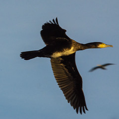 Phalacrocorax carbo (Ouwesok) Tags: sonyslta77 sigmaapo563150500mmdgoshsm phalacrocoraxcarbo aalscholver vogel natuurparklelystad