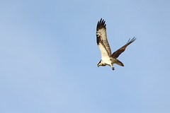 Osprey (Teruhide Tomori) Tags: osprey bird wild animal japan japon sky kyoto 猛禽類 ミサゴ seahawk fishhawk 野生動物 野鳥 鳥 タカ 日本 広沢池 自然