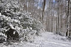 Le houx sous la main glacée de l'hiver (Excalibur67) Tags: nikon d750 sigma globalvision art 24105f4dgoshsma forest foréts arbres trees nature neige snow houx vosgesdunord winter hiver