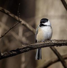 Spring Watch (Portraying Life, LLC) Tags: cropapsc dbg6 hddfa150450 k1mkii michigan pentax ricoh unitedstates bird closecrop handheld nativelighting latewinter feeder commom