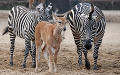 Calfnapping (AvesAg) Tags: zoo zooberlin canon eosr eos r equusquaggaboehmi equus equusquagga zebra grantszebra grantzebra böhmzebra elenantilope antilope taurotragusoryx commoneland elandantelope antelope calf kalb