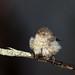 Buff-rumped Thornbill (Acanthiza reguloides)