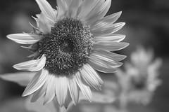 Hiding In Plain Sight (Modkuse) Tags: acros acrossimulation xt2acros fujifilmxt2acrossimulation nopostprocessing monochrome bw blackandwhite nature natural flower sunflower art artphotography artistic fineartphotography fineart photoart fujifilm fujifilmxt2 xt2 xf35mmf2rwr fujinon fujinonxf35mmf2rwr
