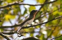 Leaden Flycatcher (Myiagra rubecula) (Urban and Nature OZ) Tags: leadenflycatcher bird birds flycatcher leaden myiagrarubecula australianbird australian australanbirds flycatchers goldcoast australianbirds