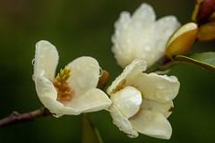 Magnolia (San Francisco Gal) Tags: micheliafigo magnoliafigo magnolia flower fleur bloom blossom bud macro raindrop sanfrancisco ngc