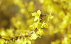 Le printemps en jaune... (passionpapillon) Tags: macro fleur flower jaune yellow arbuste jardin bokeh color passionpapillon 2019 forsythia ngc
