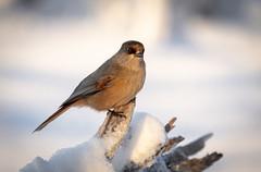 Siberian jay (MrBlackSun) Tags: finland arctic snow birds birdlovers bird birdwatchers nikon d850 kuusamonaturephotography kuusamo oulanka