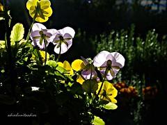 Al ponerse el sol 015 (adioslunitaadios) Tags: plantasyflores flores pensamientos atardecer naturaleza fujifilm macros airelibre pétalos campo jardín