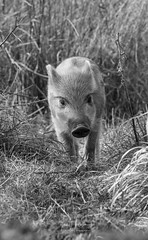 Wild boar piglet (Ian howells wildlife photography) Tags: ianhowells ianhowellswildlifephotography nature naturephotography nationalgeographic boar bbcspringwatch canon springwatch wildlife wildlifephotography wild humbug pig