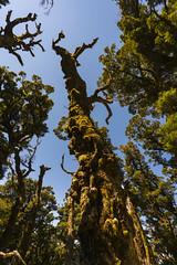 Fractalized (StarCitizen) Tags: newzealand rainforest tree woods enchantedforest
