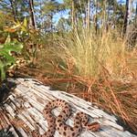 Carolina Pigmy Rattlesnake thumbnail