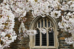 Outside the Rubenstein (hanley.will) Tags: god jesus jesuschrist christ love hope peace christianity cherryblossom cherrytree spring dukeuniversity duke rubensteinlibrary library nature composition photography photocomposition window beauty beautiful bloom blossom