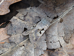 Hebrew Character Orthosia gothica (Clive E Jones) Tags: hebrew character 1 march moth small quaker christleton cheshire moths mothtrapping nature orthosia gothica