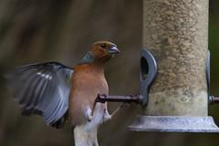 "a male chaffinch nearly falls off the feeder in his haste to get at the seeds. A Potterton Garden, Aberdeenshire, Scotland (grumpybaldprof) Tags: canon 7d ""canon7d"" sigma 150600mm f563 ""dgoshsmsport"" ""sigma dgoshsmsport"" ""greenfinch"" ""chlorischloris"" fringillidae ""truefinch"" passerine bird small songbird ""apottertongarden"" potterton aberdeenshire scotland striking artistic interpretation impressionist stylistic style contrast shadow bright dark black white illuminated colour colours colourful aberdeen uk ""siorrachdobardheathain"""