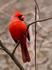 Cardinal, Cardinalis cardinalis, Male (19) (Herman Giethoorn) Tags: cardinal red bird