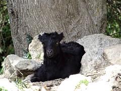 Waiting for someone? (Ia Löfquist) Tags: crete kreta vandra vandring hike hiking walk walking spring vår goat get killing kid