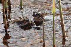 He, wat doe jij hier? (Liekesfotos) Tags: nature natuur lente spring dier dieren animal animals amfibie amphibian pad padden toads water