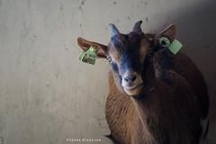 What!! (Ineke Klaassen) Tags: goat animal animals animales animallife animalplanet animali animaux curious nieuwsgierig geit helicon heliconvmbonijmegen boerderij boerderijdieren farm sony sonya6000 sonyimages sonyalpha sonyalpha6000 sonyilce6000 15favs 15faves 15fav 1025fav
