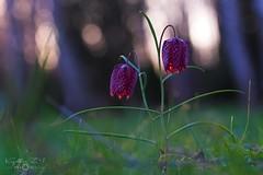 Fritillaria meleagris (Kapi Zoli) Tags: fritillaria meleagris kockásliliom virág flower nature természet
