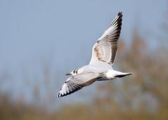 Juvenile Black - headed Gull (Nigel B2010) Tags: gull black headed juvenile flying flight sky nature wildlife countryside attenborough nottinghamshire east midlands