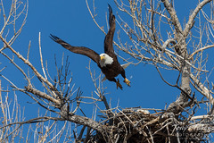 March 24, 2019 - A bald eagle departs its nest. (Tony's Takes)