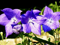 8JimLawrence_PlatycodonGrandiflorus_AllRightsRes (nc.hort) Tags: jim lawrence home garden flowers database plants balloon flower platycodon grandiflorus