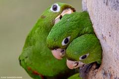 Pericos (juan.sangiovanni) Tags: aves arinae arini chloropterus perico psittacara psittacidae psittaciformes endemic psittacarachloropterus avibase