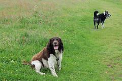 Benjy and Penny (billnbenj) Tags: benjy spaniel springerspaniel dog barrow cumbria