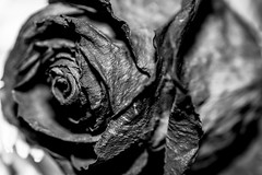 KISS FROM A ROSE (hoffler_pictorials) Tags: crisp fe90mm28 dof simplicity red petals agedbeauty love kissed macro monochrome bw bnw blackandwhite flowers roses sonyilce7m3 sonyalpha sonylenses
