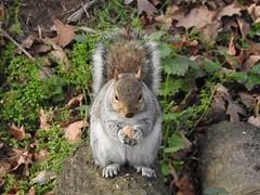 Squirrel (Simply Sharon !) Tags: greysquirrel squirrel wildlife britishwildlife nature january animal