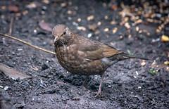 Blackbird - female (vickyouten) Tags: blackbird nature wildlife britishwildlife wildlifephotography nikon nikond7200 nikonphotography nikkor55300mm penningtonflash leigh uk vickyouten