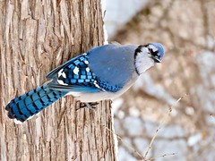Well hello there! (Meryl Raddatz) Tags: bluejay bird blue nature naturephotography wildlife canada