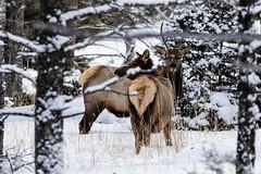 Antelope 01 (Craig Tata) Tags: nationalpark nature yellowstone yellowstonenationalpark highdefinition landscape outdoors outside woods animals antelope snow winter