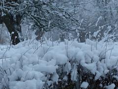 Hedge (Marit Buelens) Tags: belgium belgië vlaanderen flanders westvlaanderen assebroek garden park snow sneeuw appletree appelaar haag hedge