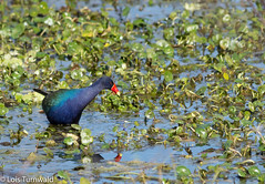 Rainbow in the Marsh (11Jewels) Tags: canon 70300 purplegallinule marsh alligatoralley circlebbarreserve lakelandfl